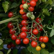 Candyland Red Hybrid Tomato Seeds Thumb