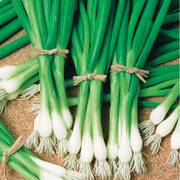 Warrior Bunching Onion Seeds
