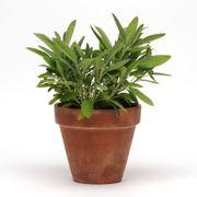 SimplyHerbs™ Sage Seeds