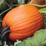 Hulk Hybrid Pumpkin Seeds