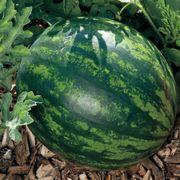 Mini Love Hybrid Watermelon Seeds Alternate Image 2