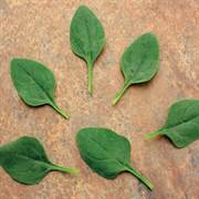 Baby Leaf Riverside Spinach Seeds image