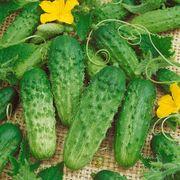 Pick a Bushel Hybrid Cucumber Seeds image