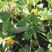Greyzini Hybrid Squash Seeds