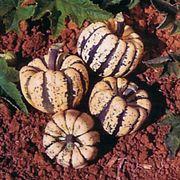 Sweet Dumpling Acorn Squash Seeds
