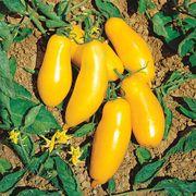 El Dorado Hybrid Tomato Seeds image