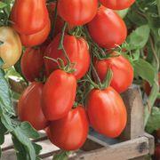 Giant Garden Paste Hybrid Tomato Seeds Alternate Image 1