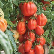 Giant Garden Paste Hybrid Tomato Seeds image