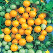 Honeybee Hybrid Cherry Tomato Seeds image