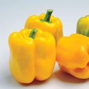 Admiral Hybrid Pepper Seeds image