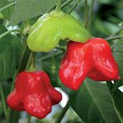 Mad Hatter Hybrid Pepper Seeds