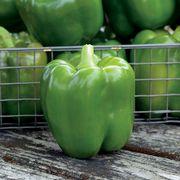 Park's Whopper II Hybrid Bell Pepper Seeds (P)Pkt of 15 seeds Alternate Image 1