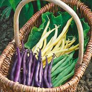 Mardi Gras Blend Bush Bean Seeds image