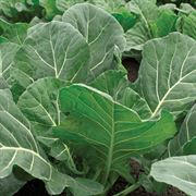 Collards Flash