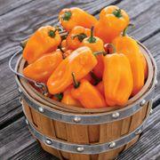 Just Sweet Pepper Seeds Thumb