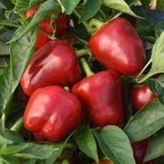 Pepper Snackabelle Red Seeds image