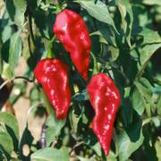 Ghost Pepper image