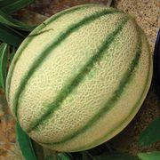 Melon Da Vinci image