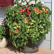 Cherry Fountain Tomato Seeds Thumb