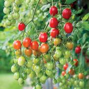 Celano F1 Grape Tomato Seeds image