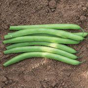 Antigua Organic Bush Bean Seeds Thumb