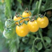 Fire Fly Tomato Seeds image