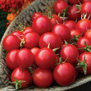 Organic Tomato Sakura image