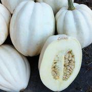 Mashed Potato Winter Squash Seeds Alternate Image 1
