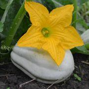 Mashed Potato Winter Squash Seeds Alternate Image 2
