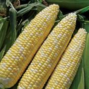 Allure (bicolor) Sweet Corn Seeds image