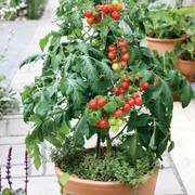 Patio Choice Red Cherry Tomato Seeds image