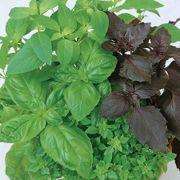 Culinary Blend Basil Organic Seeds Thumb