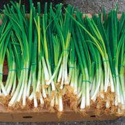 Parade Green Onion Organic Seeds Alternate Image 1