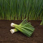 Parade Green Onion Organic Seeds Alternate Image 2