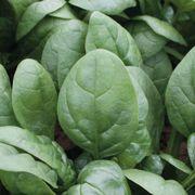 Tundra Hybrid Organic Spinach Seeds Thumb