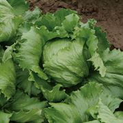 Dillon Iceberg Organic Lettuce Seeds image
