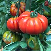 Marmande Marsalato Organic F1 Hybrid Tomato Seeds image