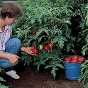 Better Bush Hybrid Tomato Seeds