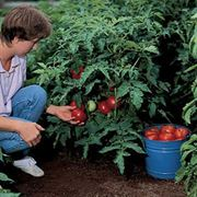 Better Bush Hybrid Tomato Seeds Alternate Image 2