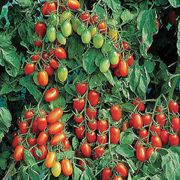 Juliet Tomato Seeds