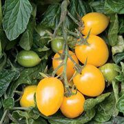 Golden Rave Hybrid Tomato Seeds