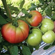 Country Taste Hybrid Tomato Seeds