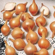 Ambition Shallot Seeds