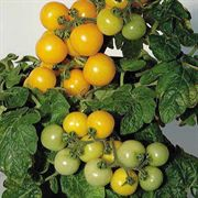 Little Sun Yellow Improved Hybrid Tomato Seeds
