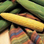 Honey Select TripleSweet™ Hybrid Corn Seed Alternate Image 2