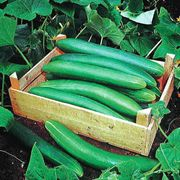 Tanja Cucumber Seeds