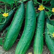 Garden Sweet Burpless Cucumber Seeds