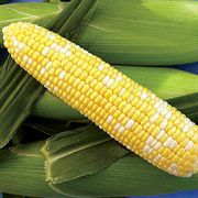 Xtra-Tender 277A Hybrid Corn Seeds