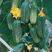 Cool Breeze Hybrid Cucumber Seeds