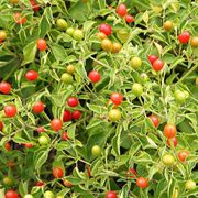 Tepin Pepper Seeds